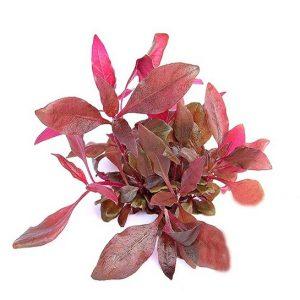 Planta alternanthera-reineckii-pink