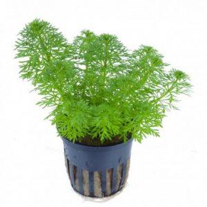 Planta ambulia-sessiliflora limnophila