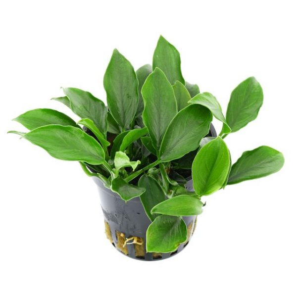 Planta anubias barteri var nana mini