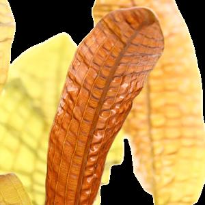 APONOGETON BOLIVIANUS