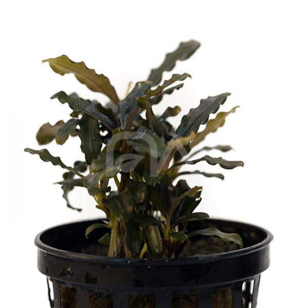 Bucephalandra SP Biblis