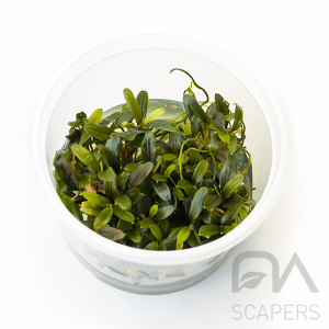 bucephalandra mini needle leaf