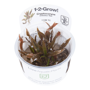 CRYPTOCORYNE UNDULATUS RED