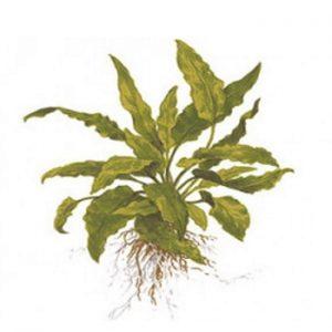 Planta cryptocoryne wendtii green
