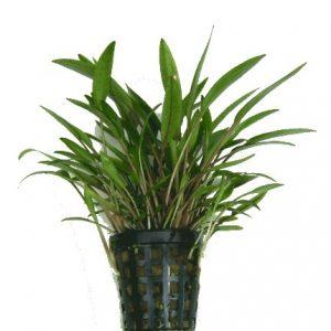 Planta cryptocoryne x willisii