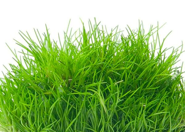 Planta acuática Eleocharis SP Mini