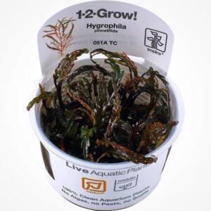 comprar online hygrophila pinnatifida en tarrina in vitro de TROPICA
