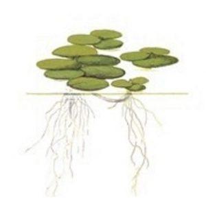 Planta limnobium laevigatium