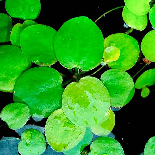 LIMNOBIUM LAEVIGATUM: plantas flotantes, beneficios y cuidados.