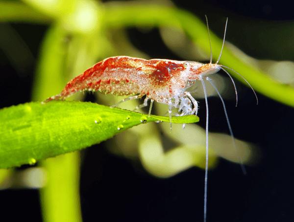 Neocaridina Red Cherry