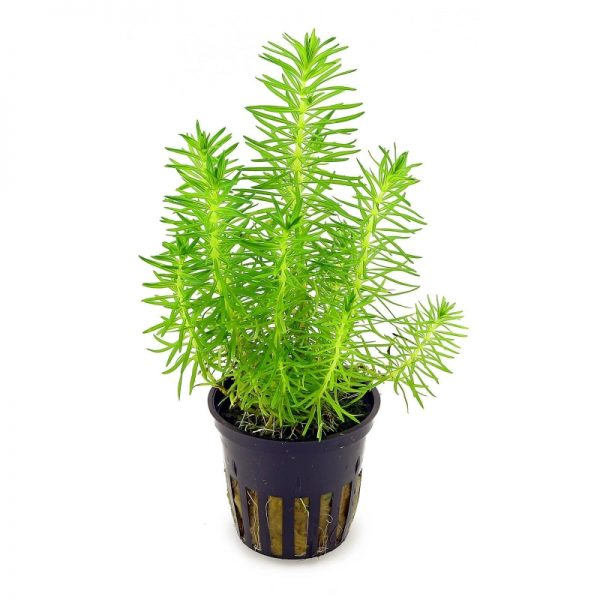 Planta pogostemon-erectus