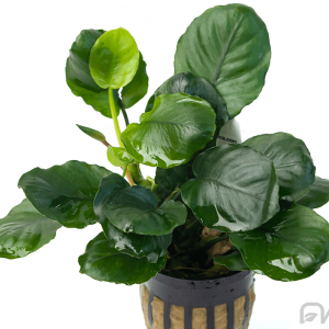 ANUBIAS GOLDEN COIN
