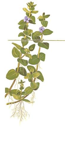 Bacopa caroliniana
