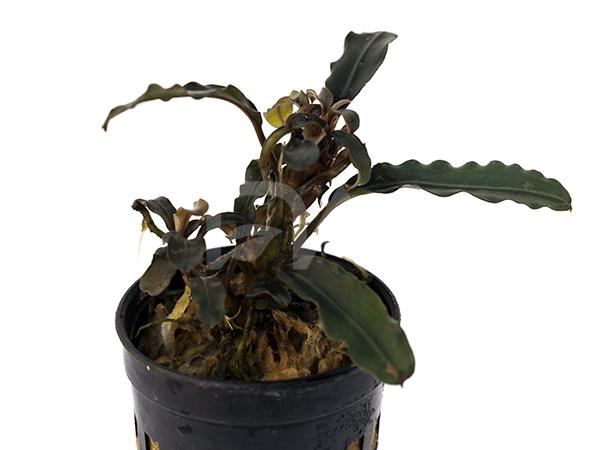 Bucephalandra Brownie Matallica