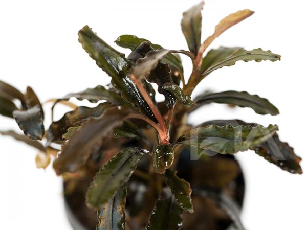 Bucephalandra Centipete