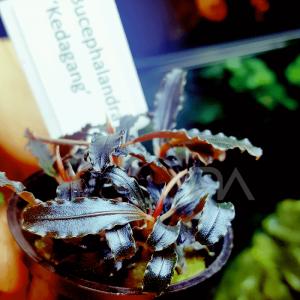 Bucephalandra Kedagang en maceta