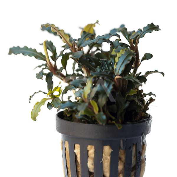 Bucephalandra SP Kedagang Mini