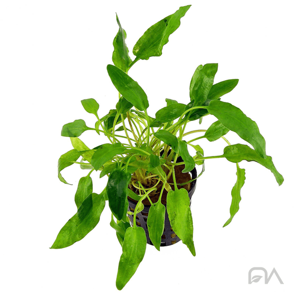 CRYPTOCORYNE WALKERI