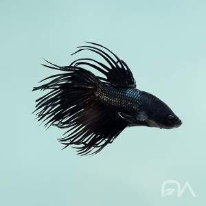 Pez Betta Crowntail (Corona)