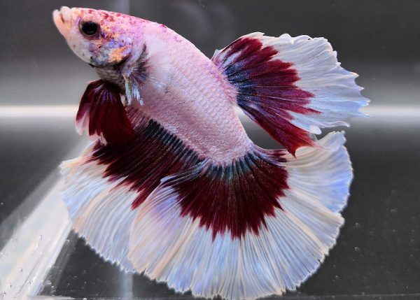 Betta Half Moon - media luna - color blanco