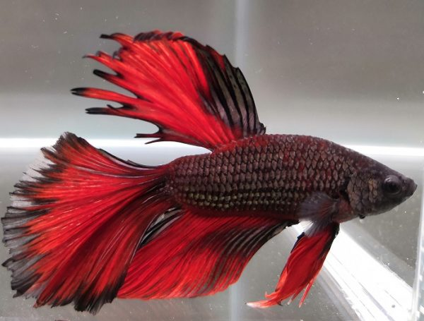Betta Half Moon - media luna - color rojo