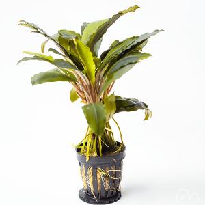 bucephalandra achilles black dark