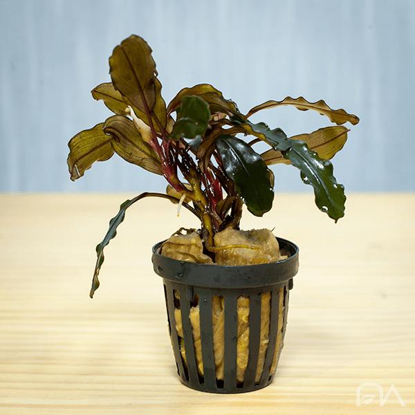 bucephalandra alamanda v3 dark