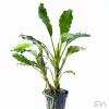 bucephalandra green achilles