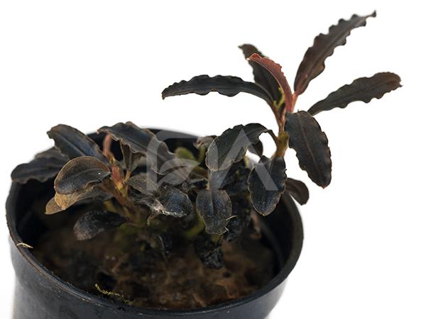 Bucephalandra Pygmea Japon