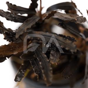 Bucephalandra sp. Godzilla