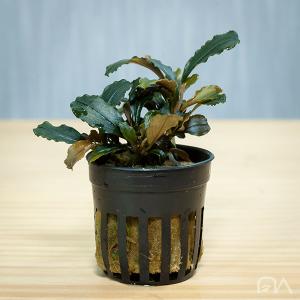 bucephalandra sp maia