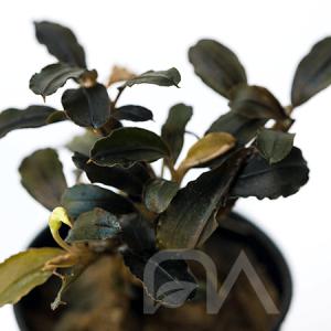 Bucephalandra sp Pygmea