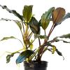 Bucephalandra T REX