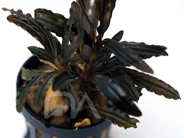 Bucephalandra TITAN