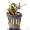 bucephalandra catherine