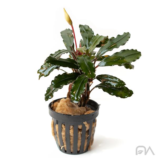 Bucephalandra Maia Red