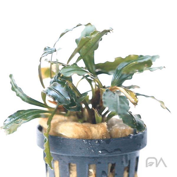 Planta acuática Bucephalandra Neron