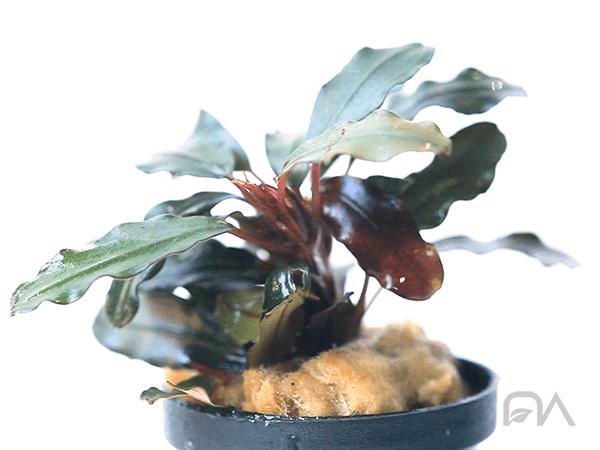 Planta para acuarios Bucephalandra Royal Blue