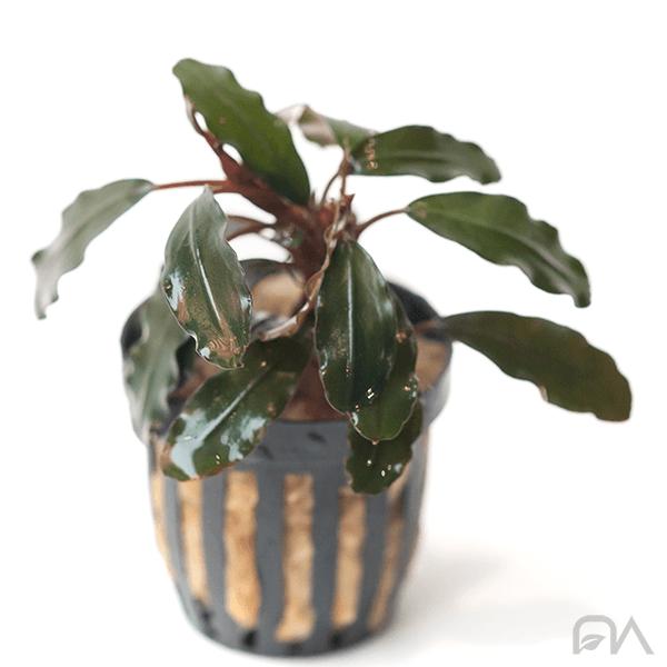 Planta para acuarios Bucephalandra SP Midnight Blue