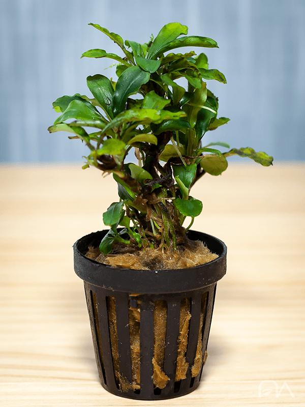 Bucephalandra SP Sintang