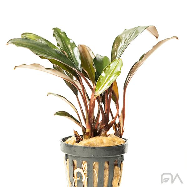 bucephalandra theia green big leave