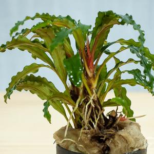 bucephalandra velvet entikong
