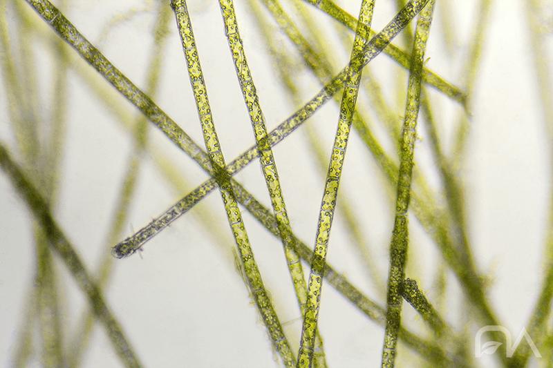 Las algas en el acuario