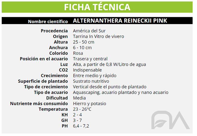 ALTERNANTHERA REINECKII PINK