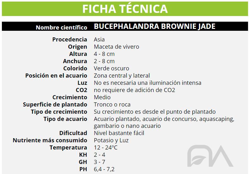 BUCEPHALANDRA BROWNIE JADE