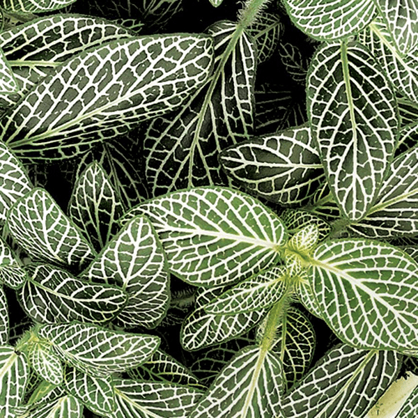 Fittonia Mini White