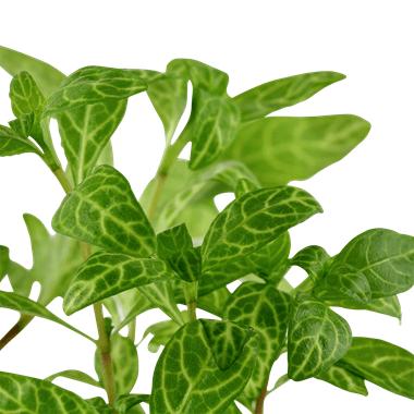 Hygrophila Polysperma Rosanervig