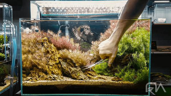 La poda de las plantas de tu acuario