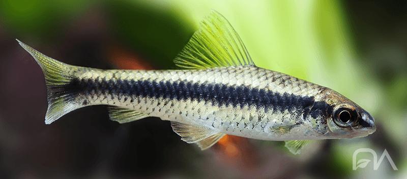 Peces para acuario de agua dulce: ZORRO VOLADOR
