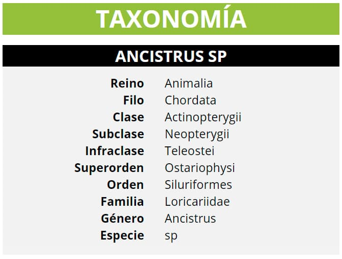 TAXONOMÍA ANCISTRUS SP